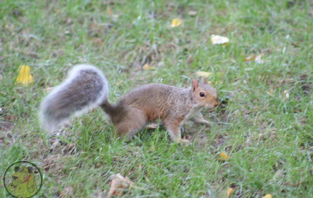 Ecureuils de Central Park